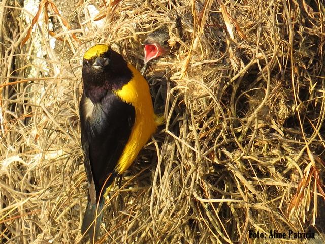 Pássaro faz ninho em lustre