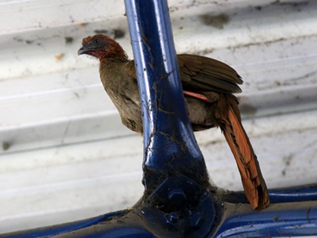 Filhote de pássaro de aracuã-pequeno se instala entre estrutura metálica e teto de terminal