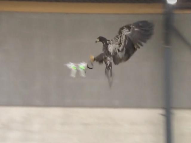 Águias treinadas podem derrubar drones