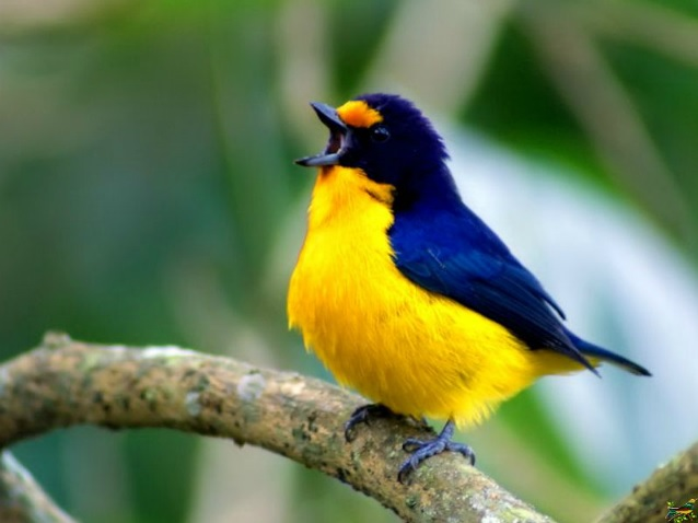 Gaturamo pode imitar até 16 cantos de aves