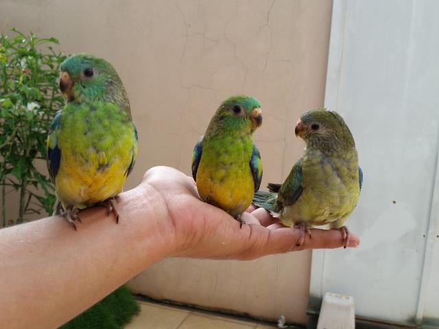 Adestramento de Pássaros
