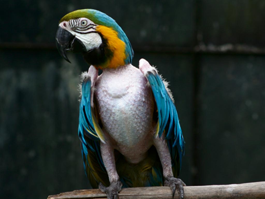 Auto-Mutilação em Aves
