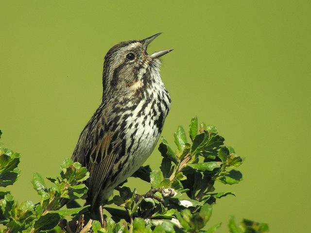 Perda do canto nos pássaros silvestres