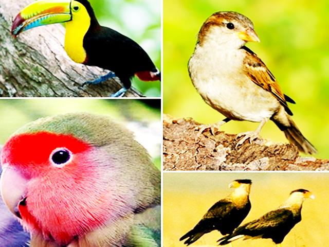 Classificação das Aves