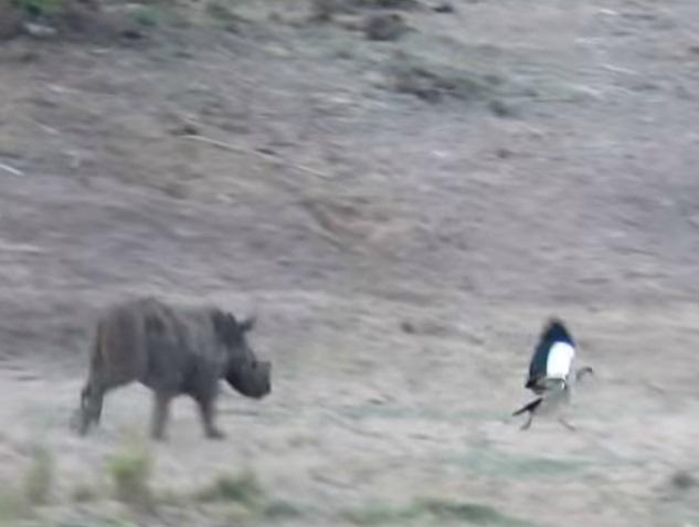 Filhote de rinoceronte corre atrás de pássaros e é filmado