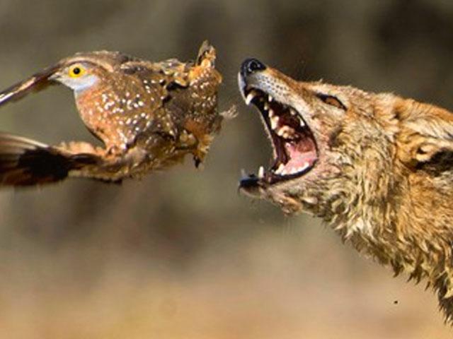 Veja uma ave escapando por um triz de ataque na África