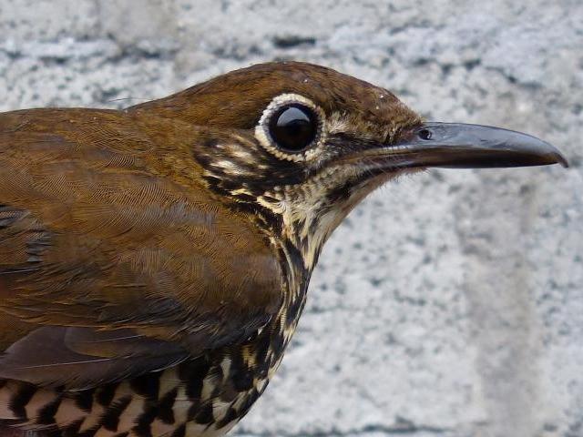 Descoberta na Índia uma nova Espécie de pássaro