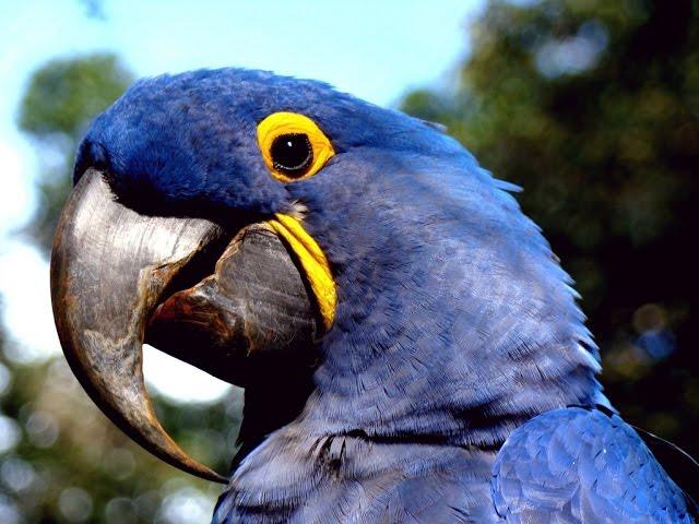 Foz do Iguaçu receberá araras-azuis-de-lear vindas da Espanha