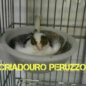 criadouro-peruzzo