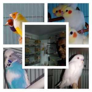 ninho-de-calopsita-avicultura-josuele