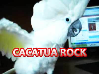 Cacatua do Rock