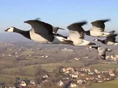 Voando com patos de estimação