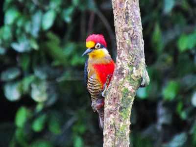 Trilha na Mata Atlântica tem lindas aves coloridas