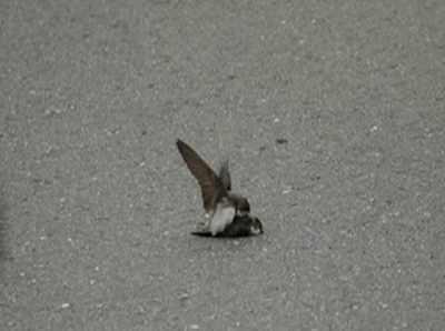 Pássaro tenta acasalar com outro macho morto