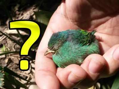 Encontrei um filhote de passarinho fora do ninho e agora?