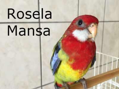 Vendo 2 Filhotes de Rosela Eximus Mansa