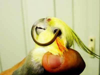 Odontologia em Aves