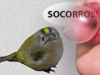 Chiclete pode matar pássaros
